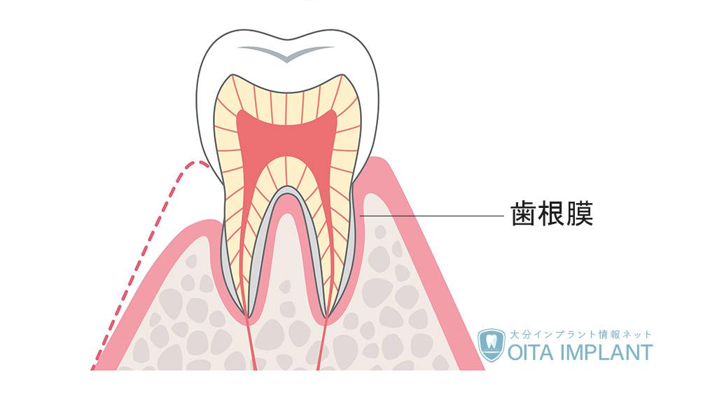 歯根膜とは